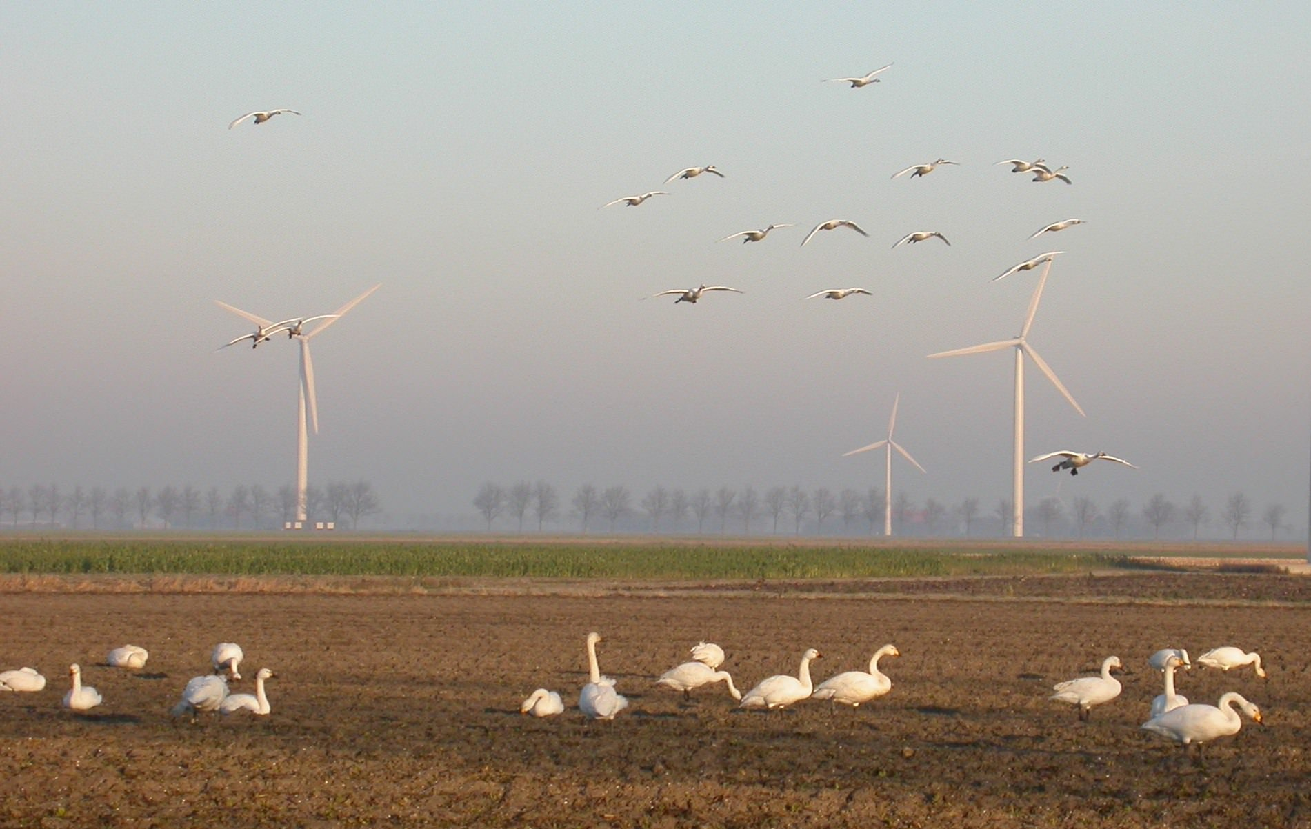 W Tijsen 2a (Bewicks Swans at ECN wind farm)